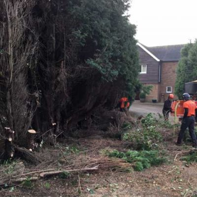 Conifer Hedge Removal