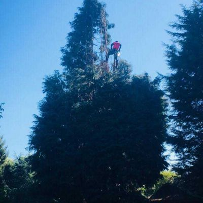 Conifer Reduction in Nottingham