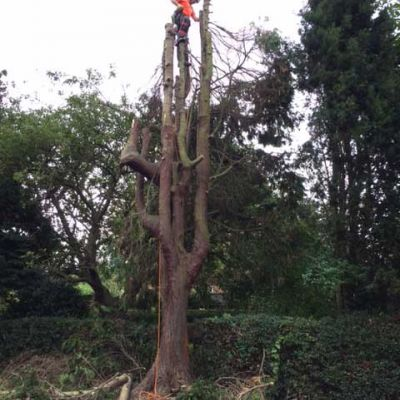 Removing Conifers in Nottingham