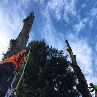 Felling Large Poplars