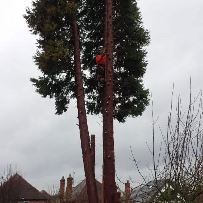 Felling a Very Large Conifer