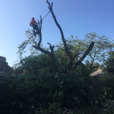 Cherry Tree Damaged in Storms
