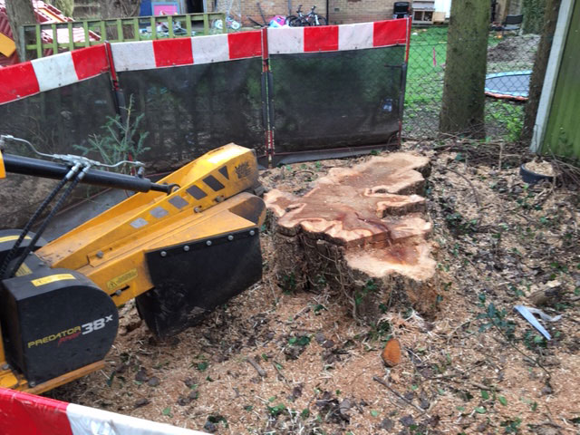 Felling Large Poplars Stump Grinding Summers Tree And